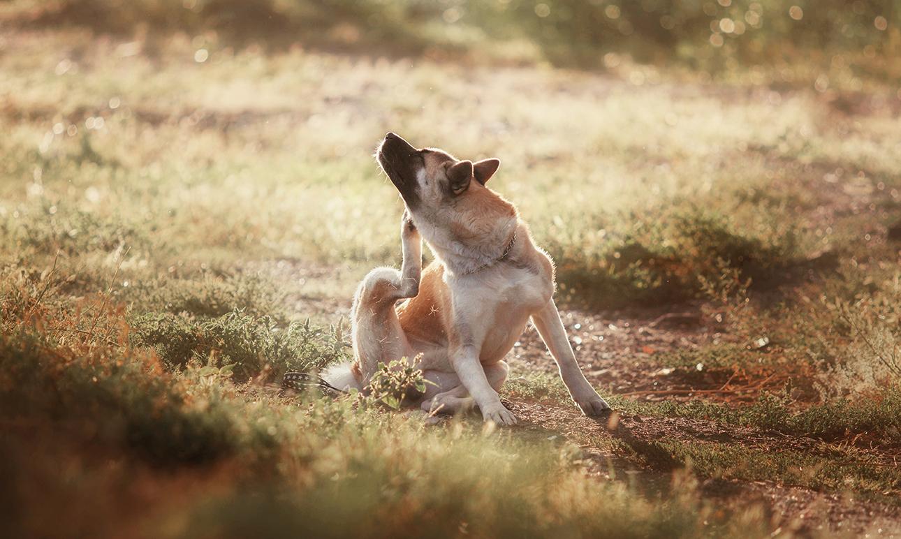 乾燥皮膚所產生的後遺症﹣如何讓犬隻減少抓傷?